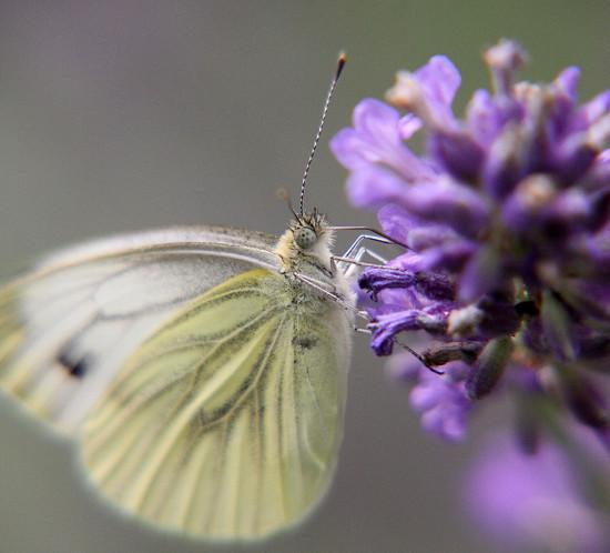 Lavendelzaubertraum